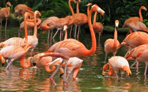 pink-flamingos-at-jurong-bird-park-311